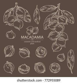 Collection of macadamia: branch, leaves and macadamia nuts. Cosmetic and medical plant. Vector hand drawn illustration.