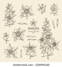 Collection of manuka: leaves and flowers of manuka . Cosmetic and medical plant. Vector hand drawn illustration