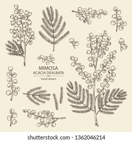 Collection of mimosa: mimosa flowering branch and leaves. Acacia dealbata. Cosmetic, perfumery and medical plant. Vector hand drawn illustration