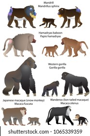 Collection of monkeys living in the territory of Africa and Asia: wanderoo (lion-tailed macaque), japanese macaque (snow monkey), gorilla, hamadryas baboon, mandrill