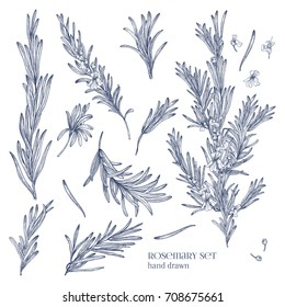 Collection of monochrome drawings of rosemary plants with flowers isolated on white background. Fragrant herb hand drawn in retro style. View from different angles. Botanical vector illustration.