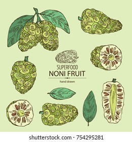 Collection of morinda, noni fruit: branch with noni fruit. Super food. Vector hand drawn illustration