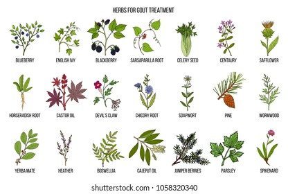 Collection of natural herbs for gout treatment. Hand drawn botanical vector illustration