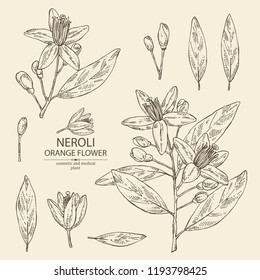 Collection of neroli, orange flower: orange flowering branch, leaves, neroli flowers and bud. Cosmetic, perfumery and medical plant. Vector hand drawn illustration