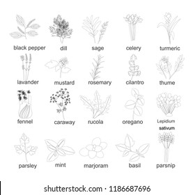 Collection of outline silhouette herbs and spices, plants. Set of different herbs and spices fennel, rosemary, thyme, basil, mustard, parsley,basil,rucola, celery, dill line style. Vector illustration