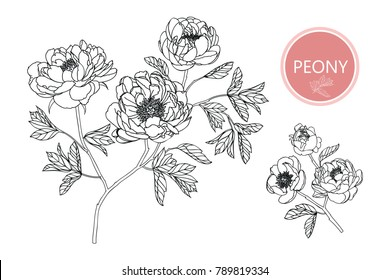 Collection peony with line-art on white backgrounds. Vector hand drawn illustration.