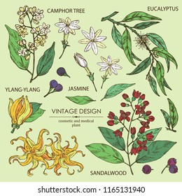 Collection of perfumery, cosmetics and medical plant: camphor tree, sandalwood,  flower ylang-ylang, jasmine flower and eucalyptus.  Vector hand drawn illustration.