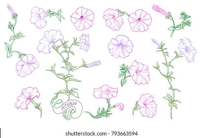 A collection of petunia sketches. A variety of colored petunias, buds and leaves in vintage style. Hand-drawn vector illustration.