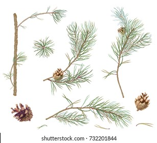 Collection of pine branches and cones, needles on white background, hand digital draw, watercolor style, decorative botanical illustration for design, Christmas plants, vector