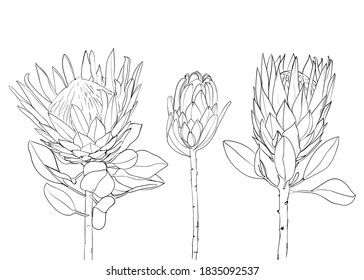 Collection of protea exotic tropical flower. line art. Design for print, textile, cards. - Vector illustration