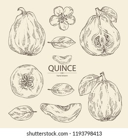 Collection of quince: fruit, flower, leaves and quince slice. Vector hand drawn illustration.