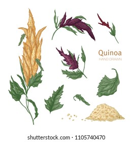 Collection of quinoa flowering plants or inflorescences, leaves and seeds hand drawn on white background. Collection of cultivated grain crops, wholesome food product. Realistic vector illustration.