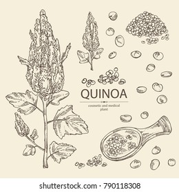 Collection of quinoa: plant and quinoa seeds. Super food. Vector hand drawn illustration.