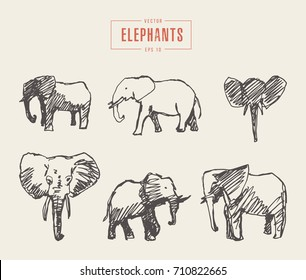 Collection of realistic elephants, hand drawn vector illustration, sketch
