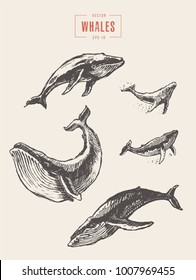 Collection of realistic whales, hand drawn vector illustration, sketch