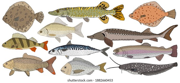 Collection of river and sea fish hand drawn, isolated. Turbot and pike and flounder and perch and crucian carp and sturgeon, carp and mackerel, Dorado, rainbow trout and catfish. Vector illustration