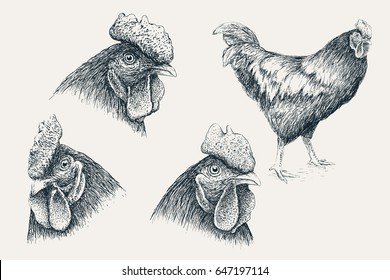 Collection of rooster in different poses.Isolated on white background.Chicken heads. Design for agricultural products.Vector illustration.Engraving style