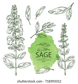 Collection of sage, branch of sage, leaves and flowers. Cosmetic, perfumery and medical plant. Vector hand drawn illustration.