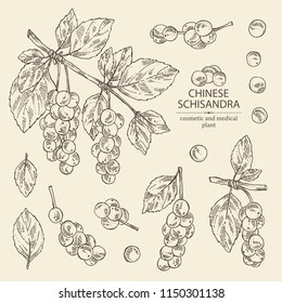 Collection of schisandra branch with leaves and berries. Magnolia vine berries. Cosmetics and medical plant. Vector hand drawn illustration.