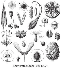 Collection of seeds / vintage illustration from Meyers Konversations-Lexikon 1897