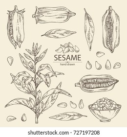Collection of sesame: sesame plant and sesame seeds Vector hand drawn illustration
