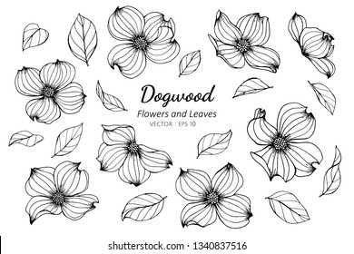 Collection set of dogwood flower and leaves drawing illustration. for pattern, logo, template, banner, posters, invitation and greeting card design.
