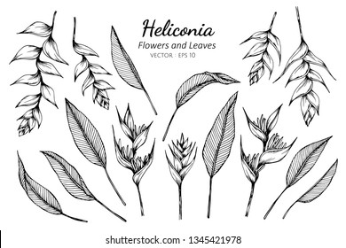 Collection set of heliconia flower and leaves drawing illustration. for pattern, logo, template, banner, posters, invitation and greeting card design.
