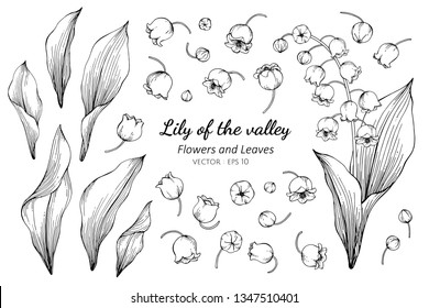 Collection set of lily of the valley flower and leaves drawing illustration. for pattern, logo, template, banner, posters, invitation and greeting card design.