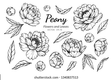 Collection set of peony flower and leaves drawing illustration. for pattern, logo, template, banner, posters, invitation and greeting card design.