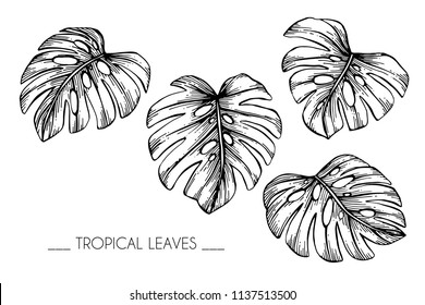 Collection set of Tropical leaf drawing illustration. Black and white with line art on white backgrounds.