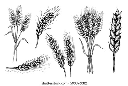 collection set of wheat ears hand drawings vector illustration sketch