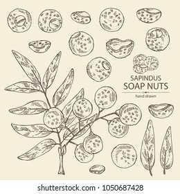 Collection of soap nuts, sapindus: fruit and branch witn nuts and leaves. Vector hand drawn illustration.