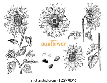 A collection of sunflowers sketches .Variety of vector 