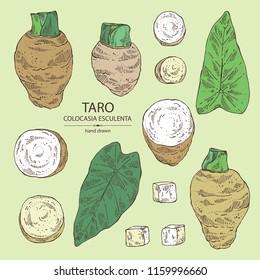 Collection of taro: taro root, leaves and taro slice. Colocasia esculenta. Vector hand drawn illustration.