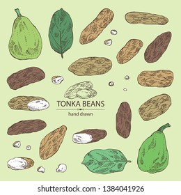 Collection of tonka beans: tonka fruit, beans and leaves. Dipteryx odorata. Cosmetic, perfumery and medical plant. Vector hand drawn illustration