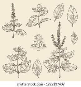 Collection of tulasi: holy basil plant and tulasi leaves. Sacred plant. Cosmetic and medical plant. Vector hand drawn illustration