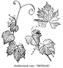 Collection of vector grapevine leaves isolated on white background. Hand drawn engraving style illustrations.