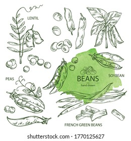 Collection of vegetables: soybean plant, peas pod, lettil beans and pod, french green beans. Vector hand drawn illustration.