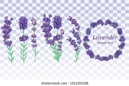 Collection violet lavender wreath with green leaf isolated on transparent background. Bunch flower. Lavender close up. Fragrant lavender. Vector illustration