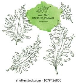 Collection of wakame: undaria pinnate seaweed, wakame leaves. Brown algae. Edible seaweed. Vector hand drawn illustration.