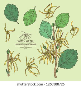 Collection of witch hazel: witch hazel flowering branch, leaves, and hamamelis virginiana flowers. Hamamelis virginiana.Cosmetic and medical plant. Vector hand drawn illustration