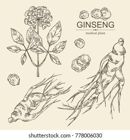 Collectuon of ginseng: ginseng root and plant with flower. Medical plant. Vector hand drawn illustration