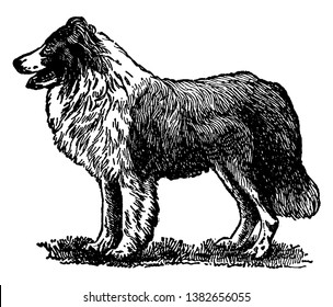 Collie is a distinctive type of herding dog including many related landraces and standardized breeds, vintage line drawing or engraving illustration.