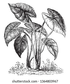 Colocasia is an edible plant and it is native to tropical Polynesia and southeastern Asia, vintage line drawing or engraving illustration.