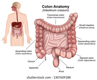 Colon anatomy vector illustration on white background