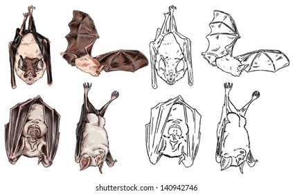 Color drawing and contour of nocturnal wild animals that live in caves, mountains and forests, species of bats