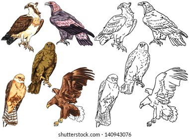 color drawing and contour of wild birds living in forests and in the mountains, predatory birds, eagle's, birds of prey