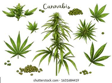 Color hand drawn cannabis. Green hemp plant seeds, sketch cannabis leaf and marijuana bud vector illustration set. Bundle of elegant detailed natural drawings of wild hemp foliage and inflorescences.