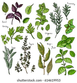 Color herbs. Spices. Italian herb drawn black lines on a white background. Vector illustration. Basil, Parsley, Rosemary, Sage, Bay, Thyme, Oregano, Mint