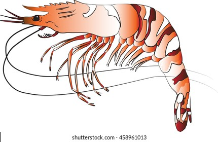 Color illustration of a Black Tiger Prawn or shrimp on a white background